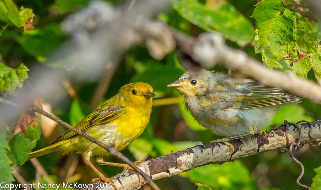 Photo of Parent and Young Yellow Warbling