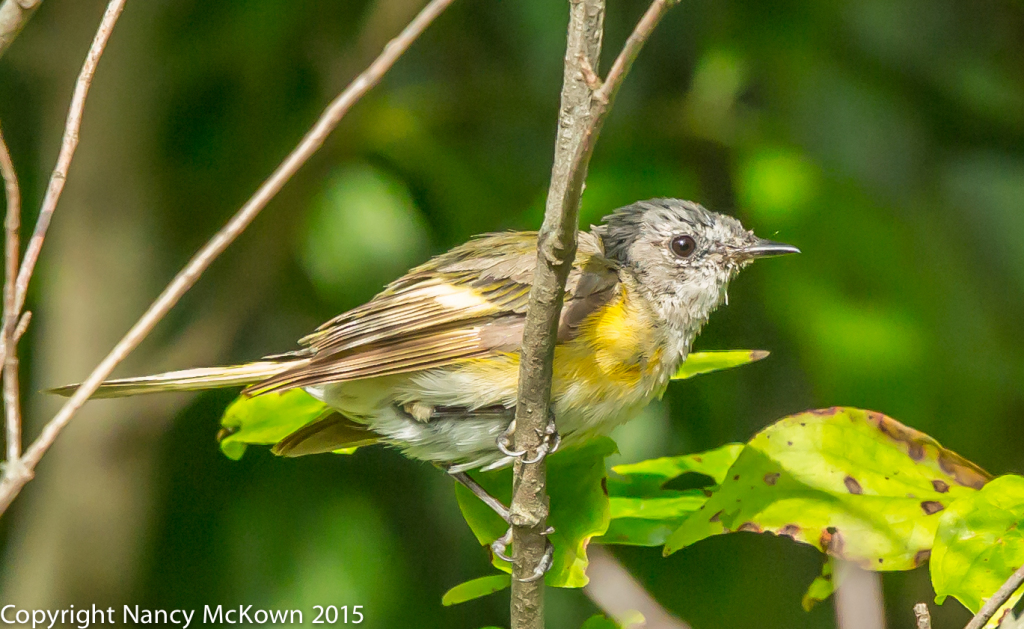 Photo of Fledging Female American Redstart Warbler