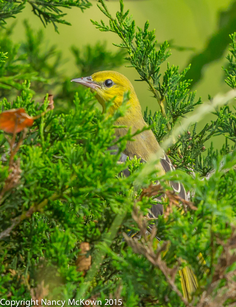 Photo of Immature Orchard Oriole