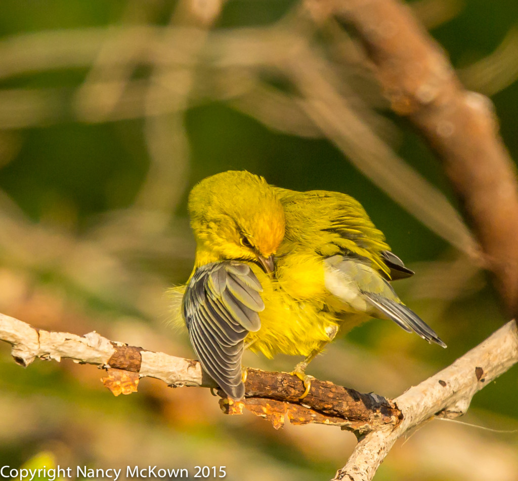 Photo of Blue Winged Warbler, Preening
