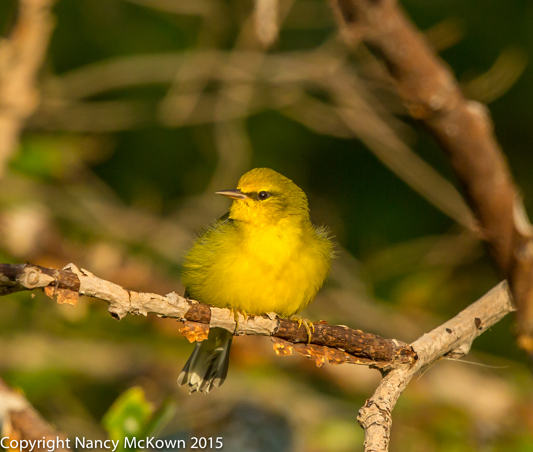 Photo of Blue Winged Warbler