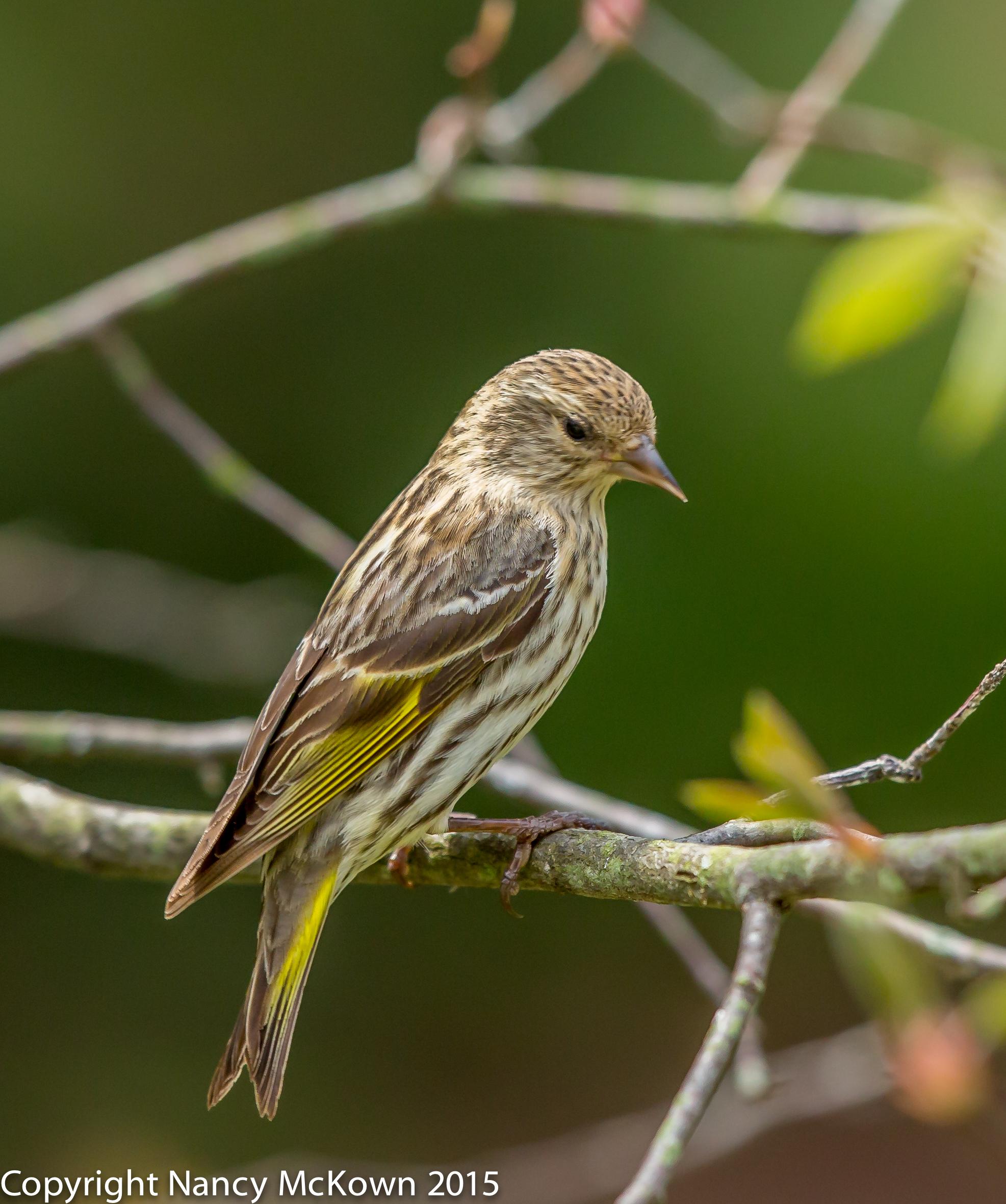 Photo of Pine Siskin
