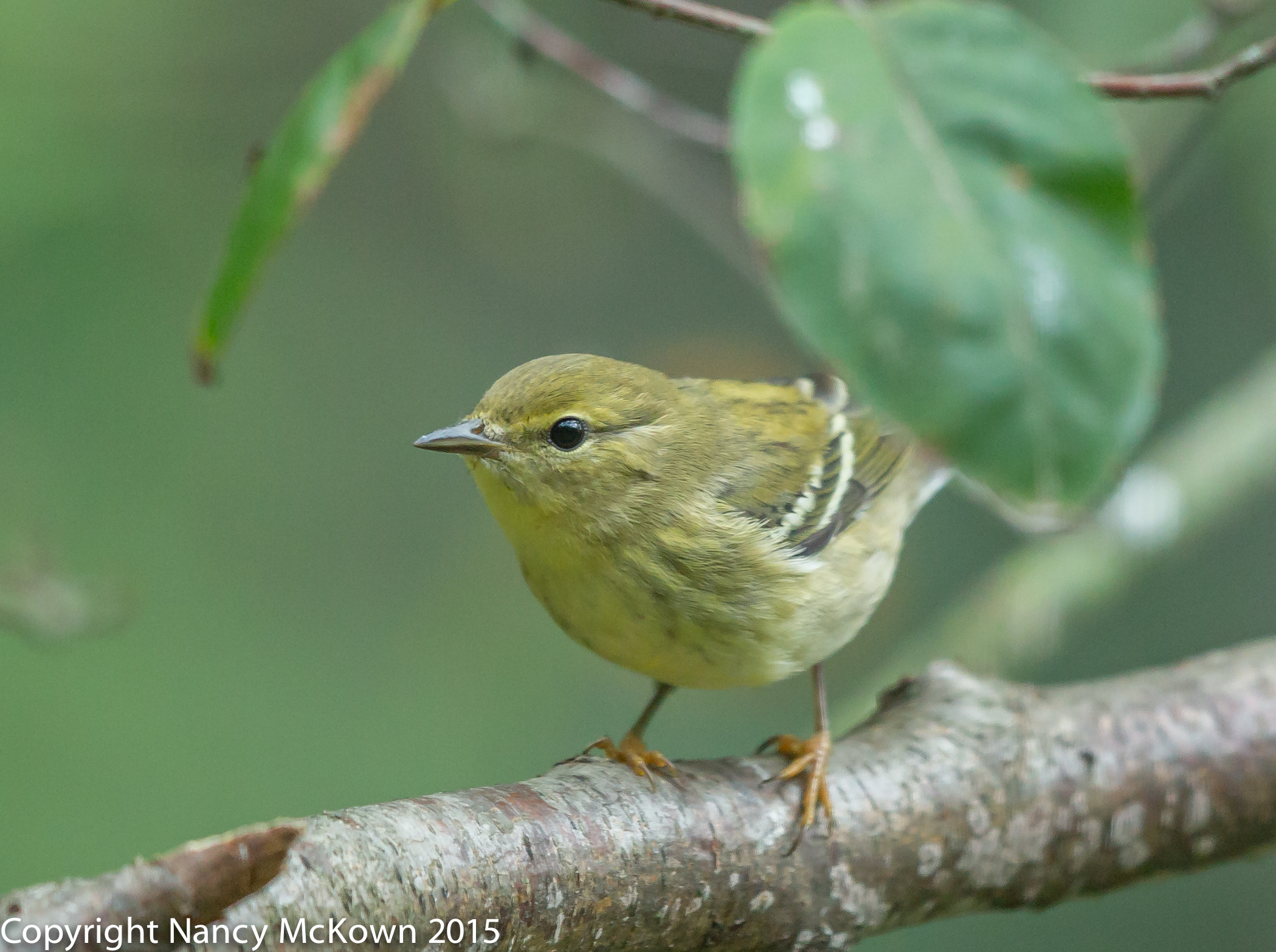 Photo of Blackpoll Warbler