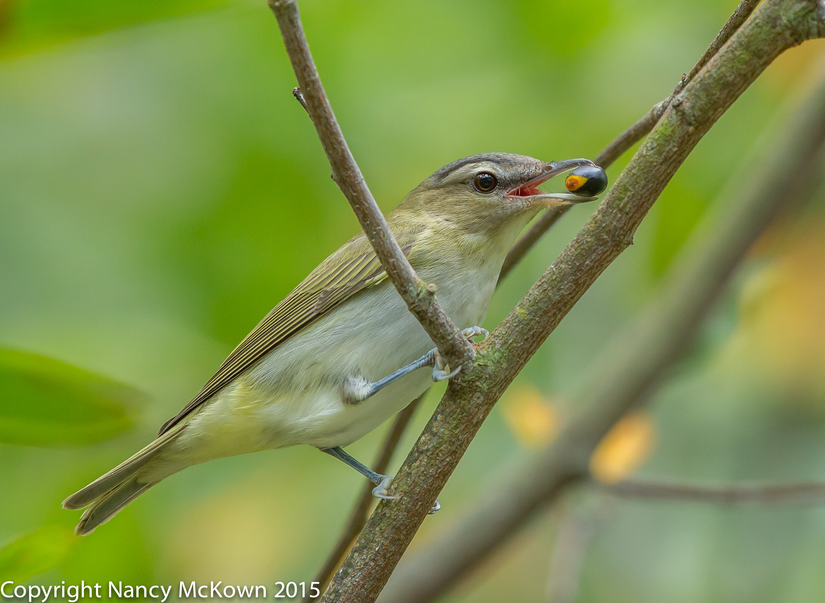 Photo of Red Eyed Vireo