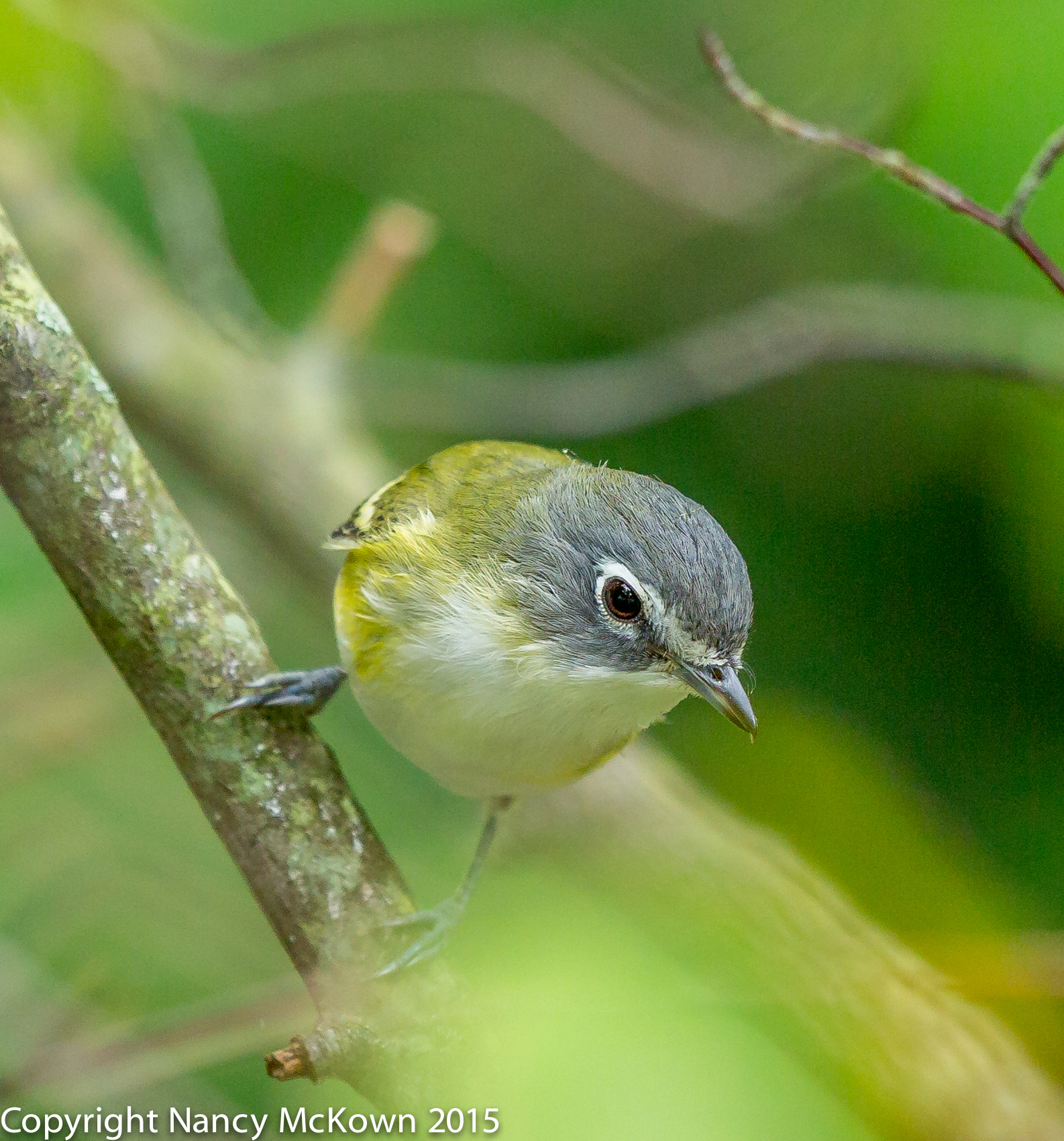 Photo of Blue Headed Vireo