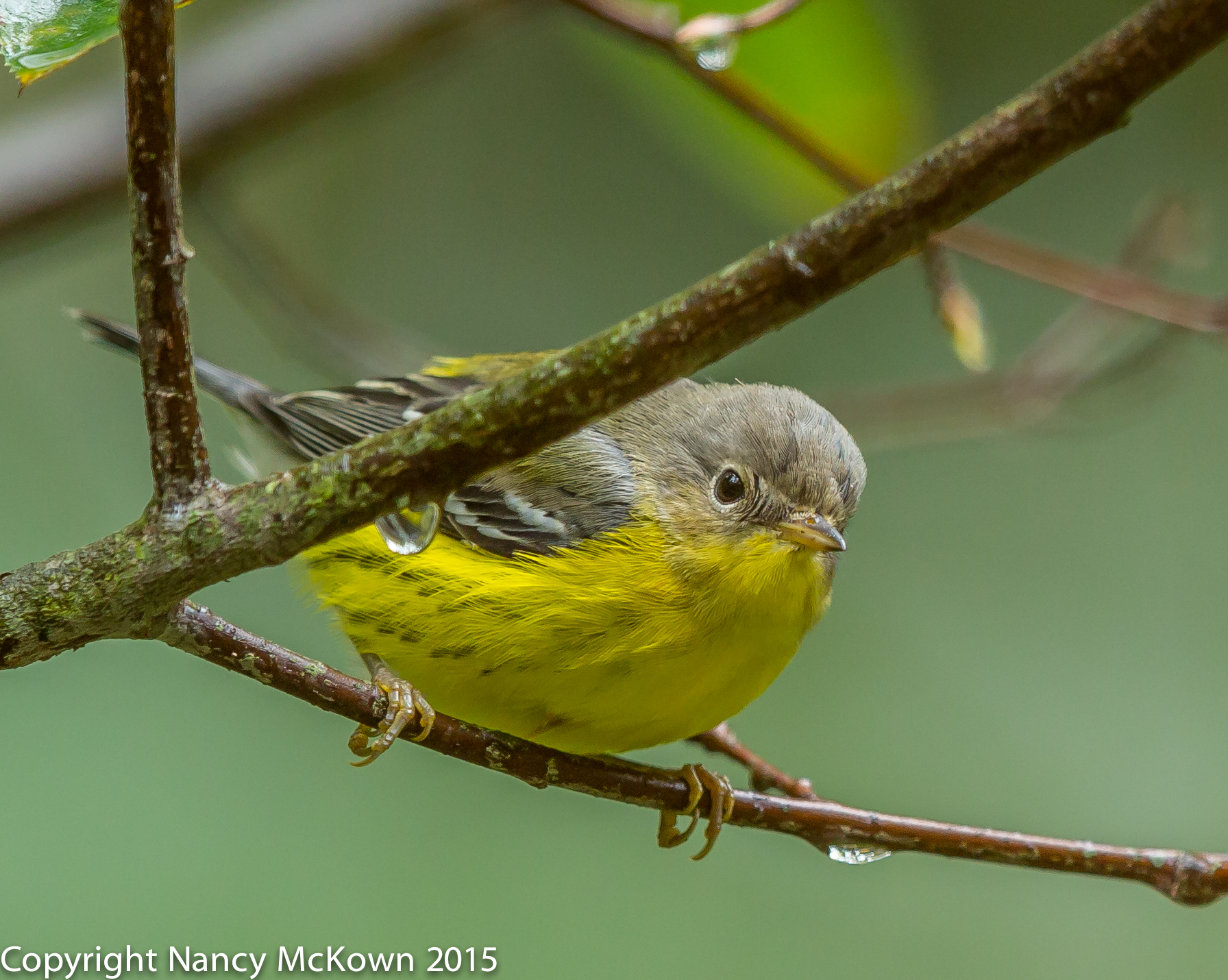 Photo of Magnolia Warbler