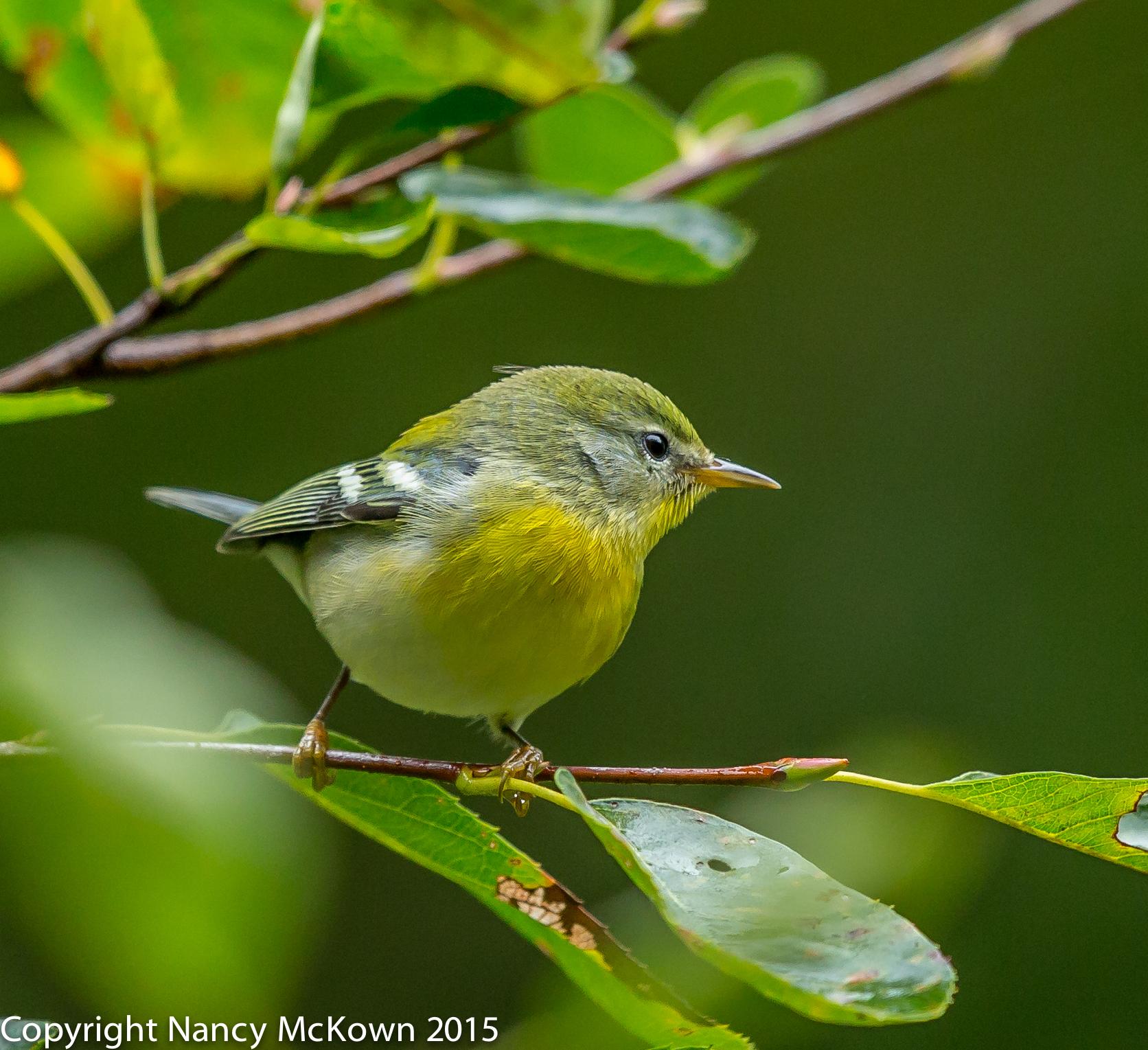 Photo of Magnolia Warbler