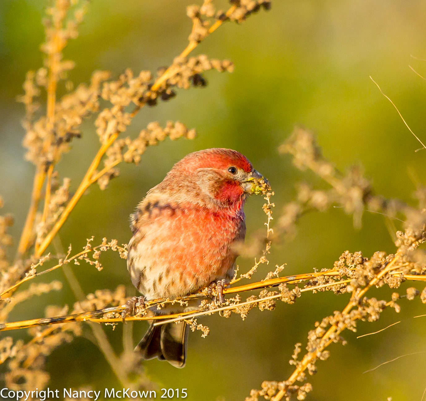 Photo of Male House Finch