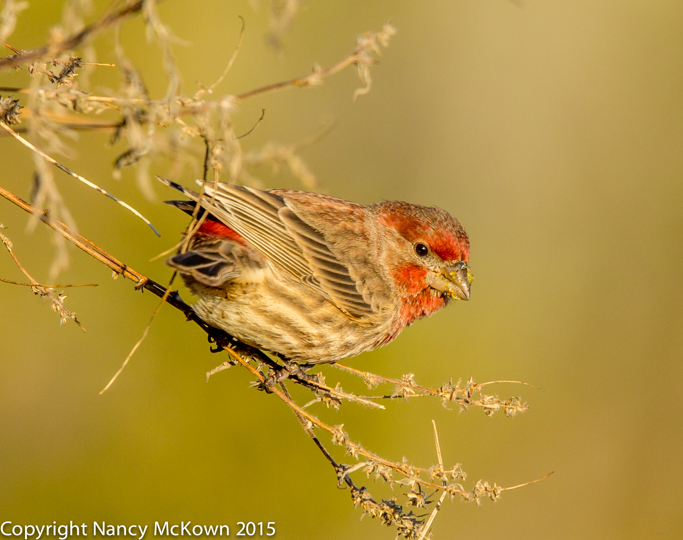 Photo of House Finch