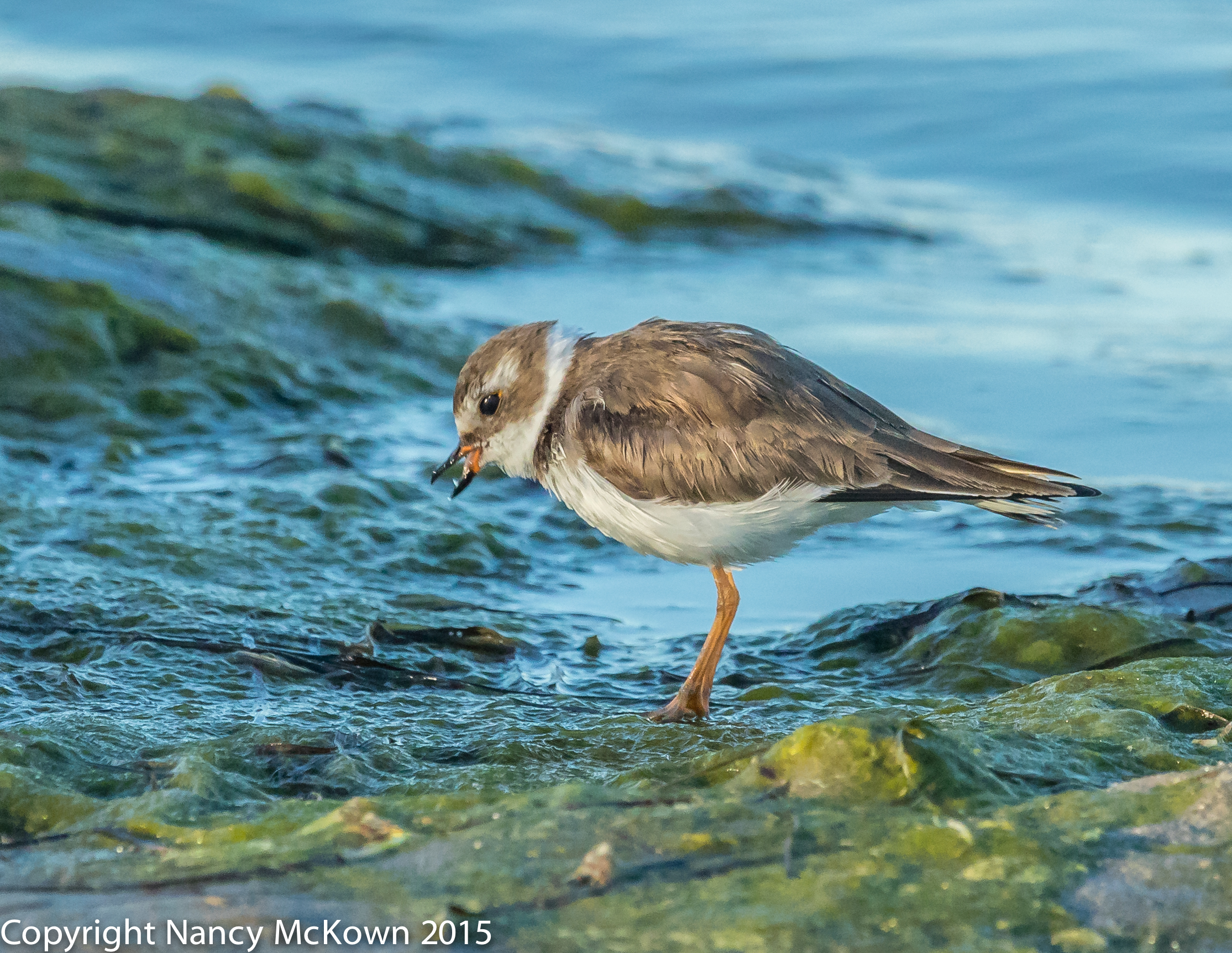 Photo of Semi Palmated Plover