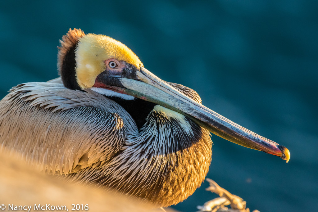 Photo of Pelican