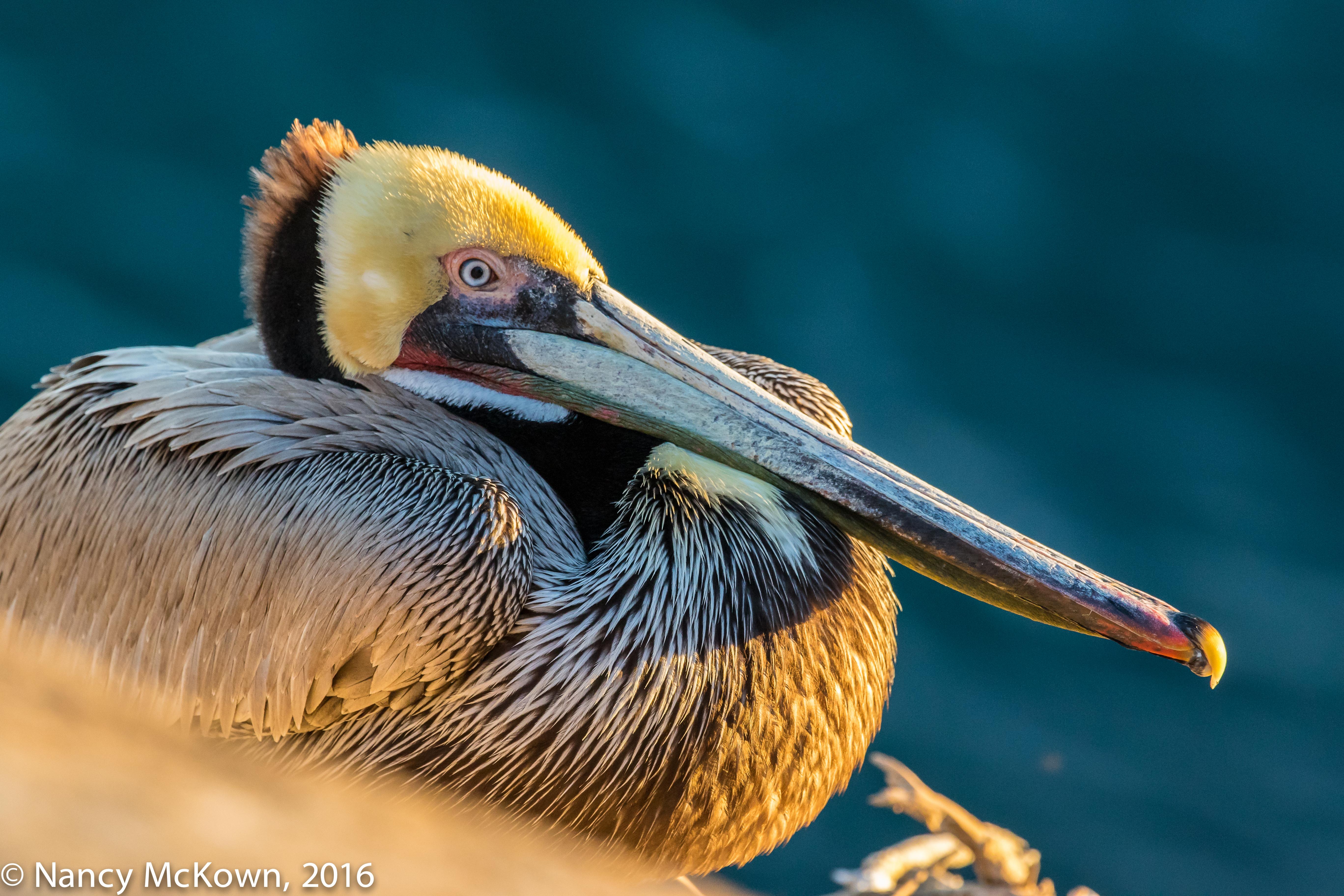 Photo of Pelican