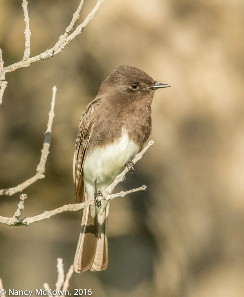 Photo of Black Phoebe