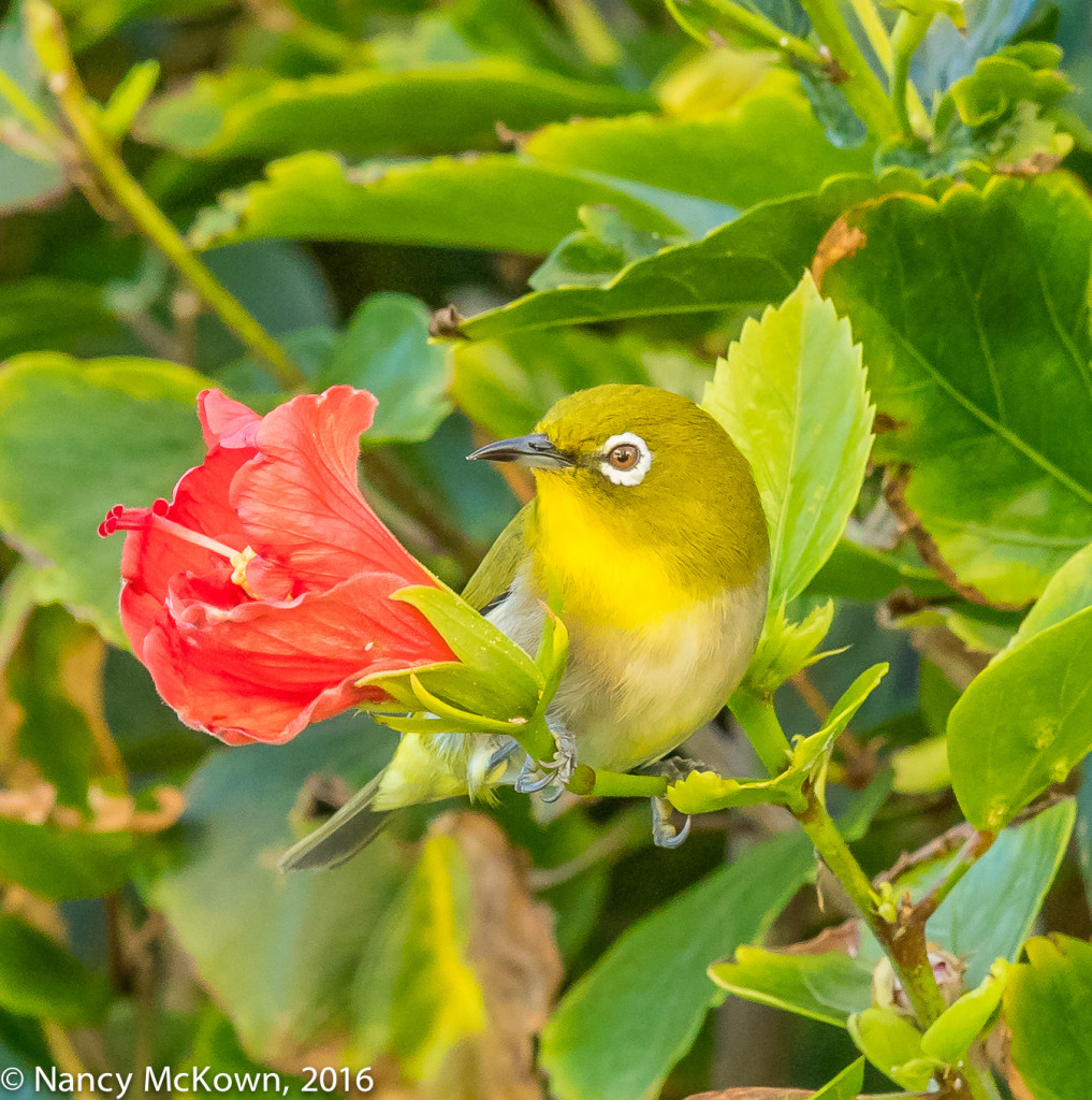 Photo of Japanese White Eye.