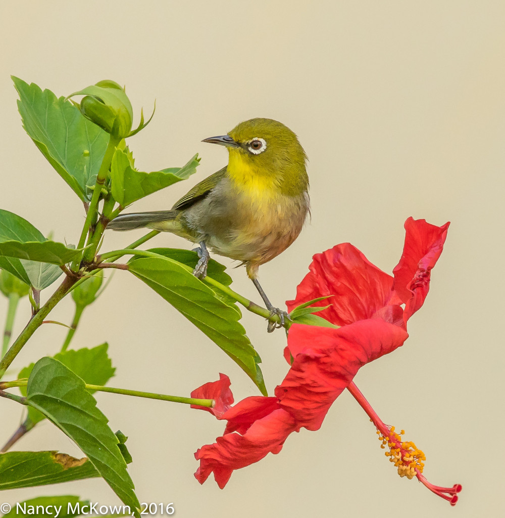 Photo of Japanese White-eye