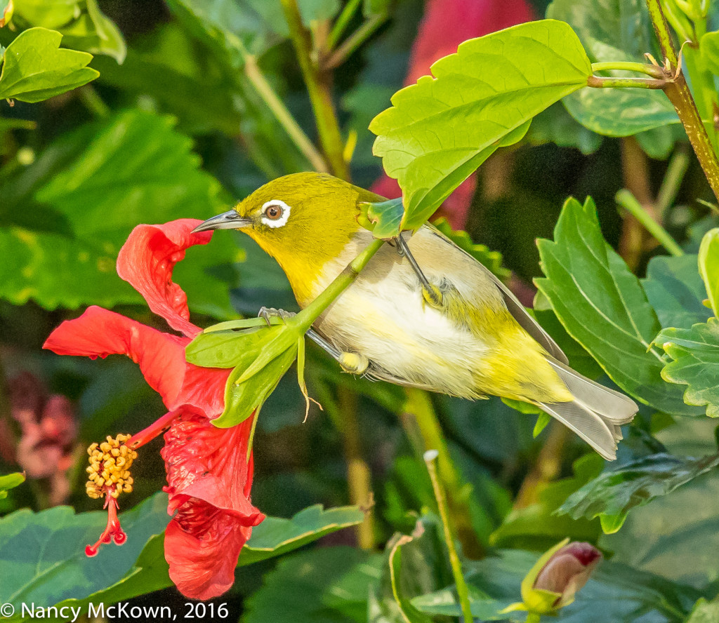 Photograph of Japanese White-Eye