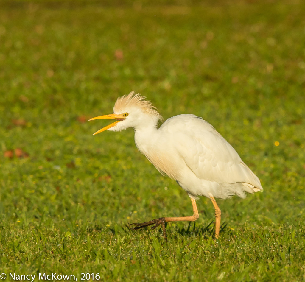 Photo of Cattle Egret