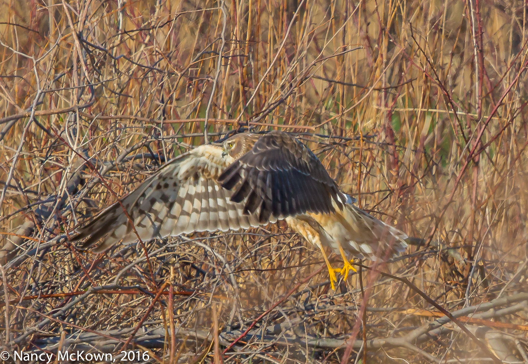 Photo of Northern Harrier