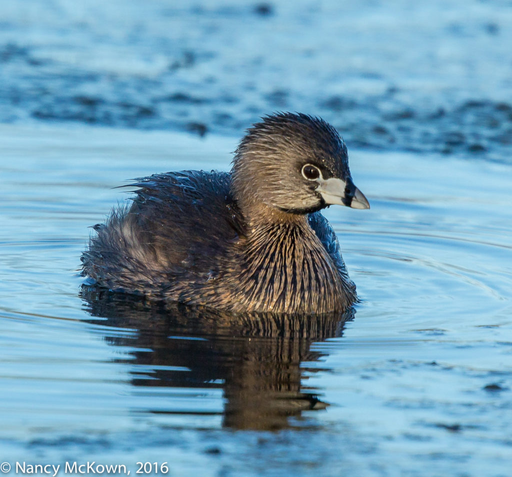 Photo of Pied-billed Grebe