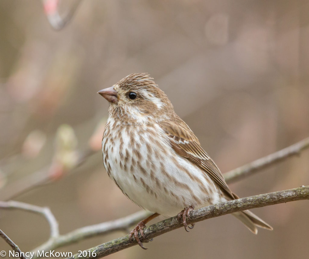 Photo of Female Purple Finch