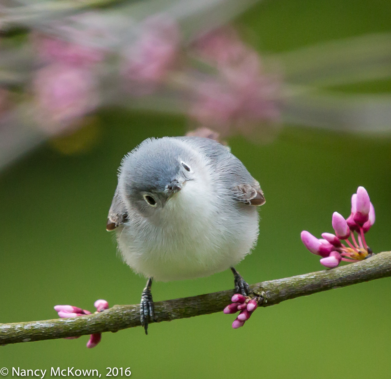 Photo of Blue Gray Gnatcatcher