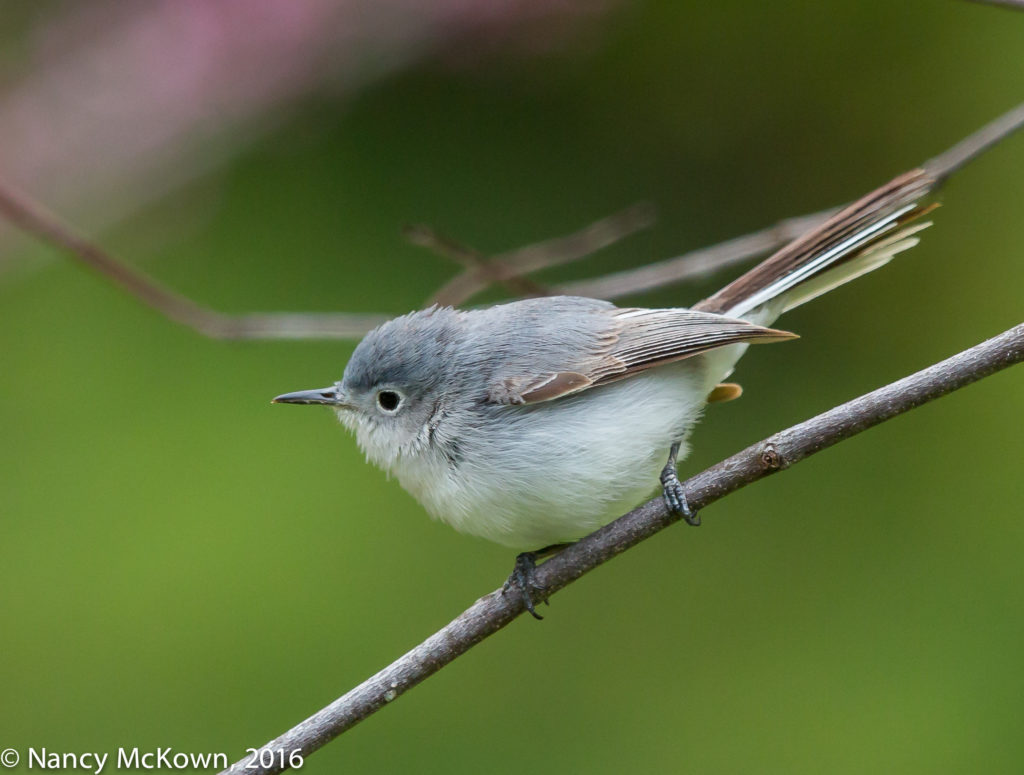 Photo of Blue Gray Gnatcatcher