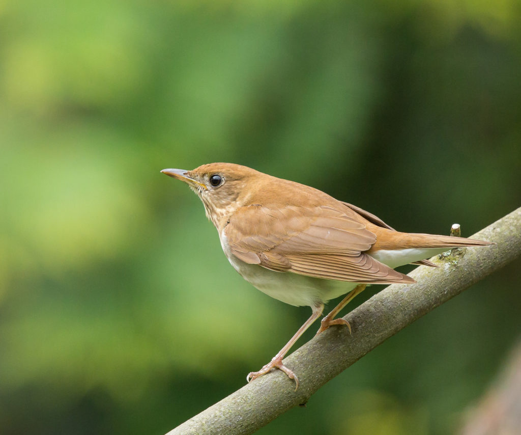 Photo of Veery Thrush