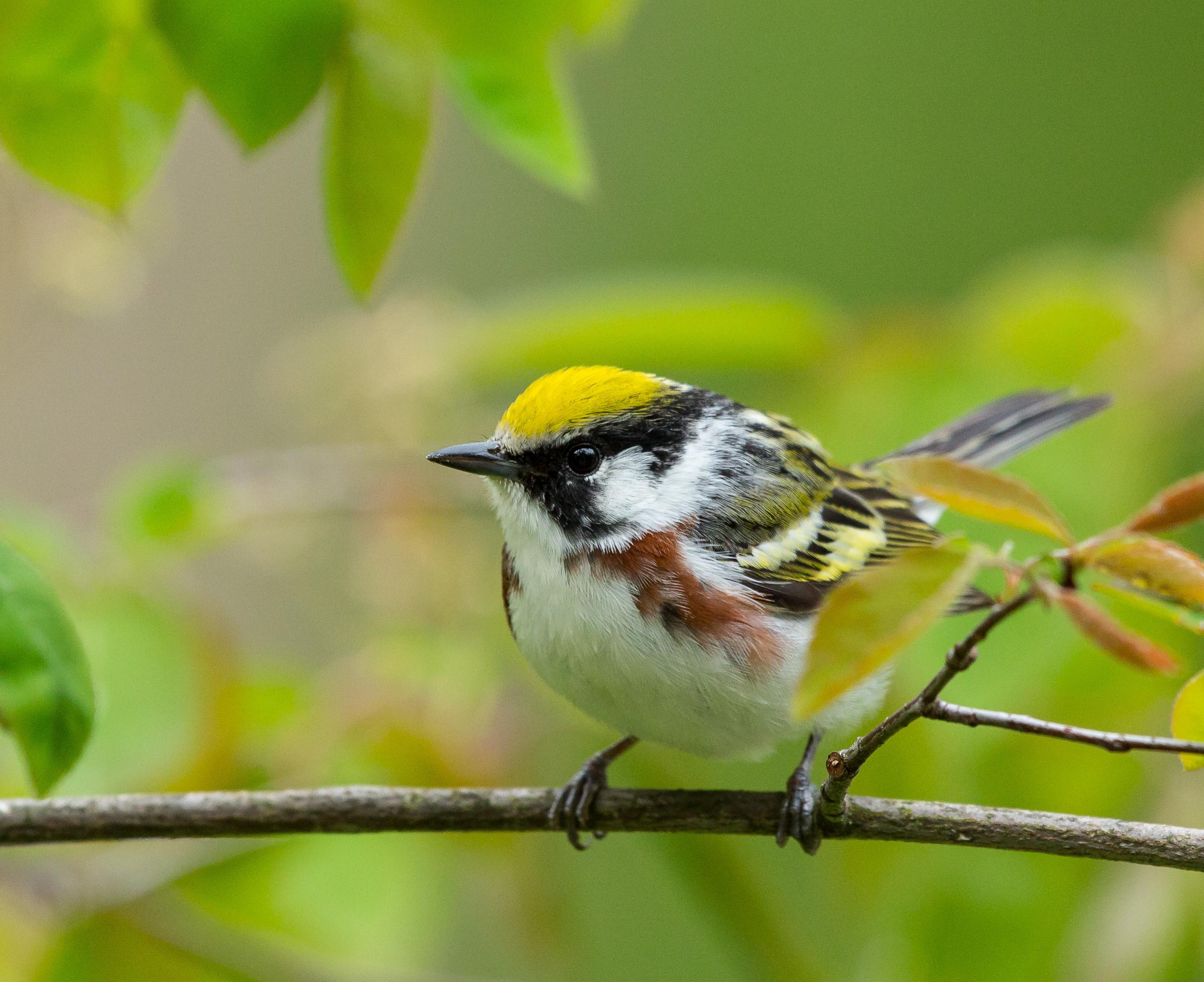 Photo of Chestnut Sided Warbler