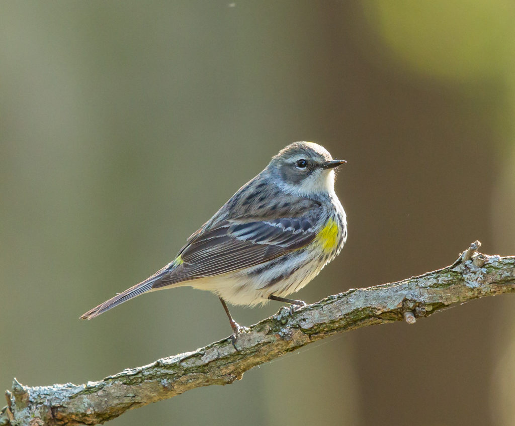 Photo of Yellow Rumped Warbler