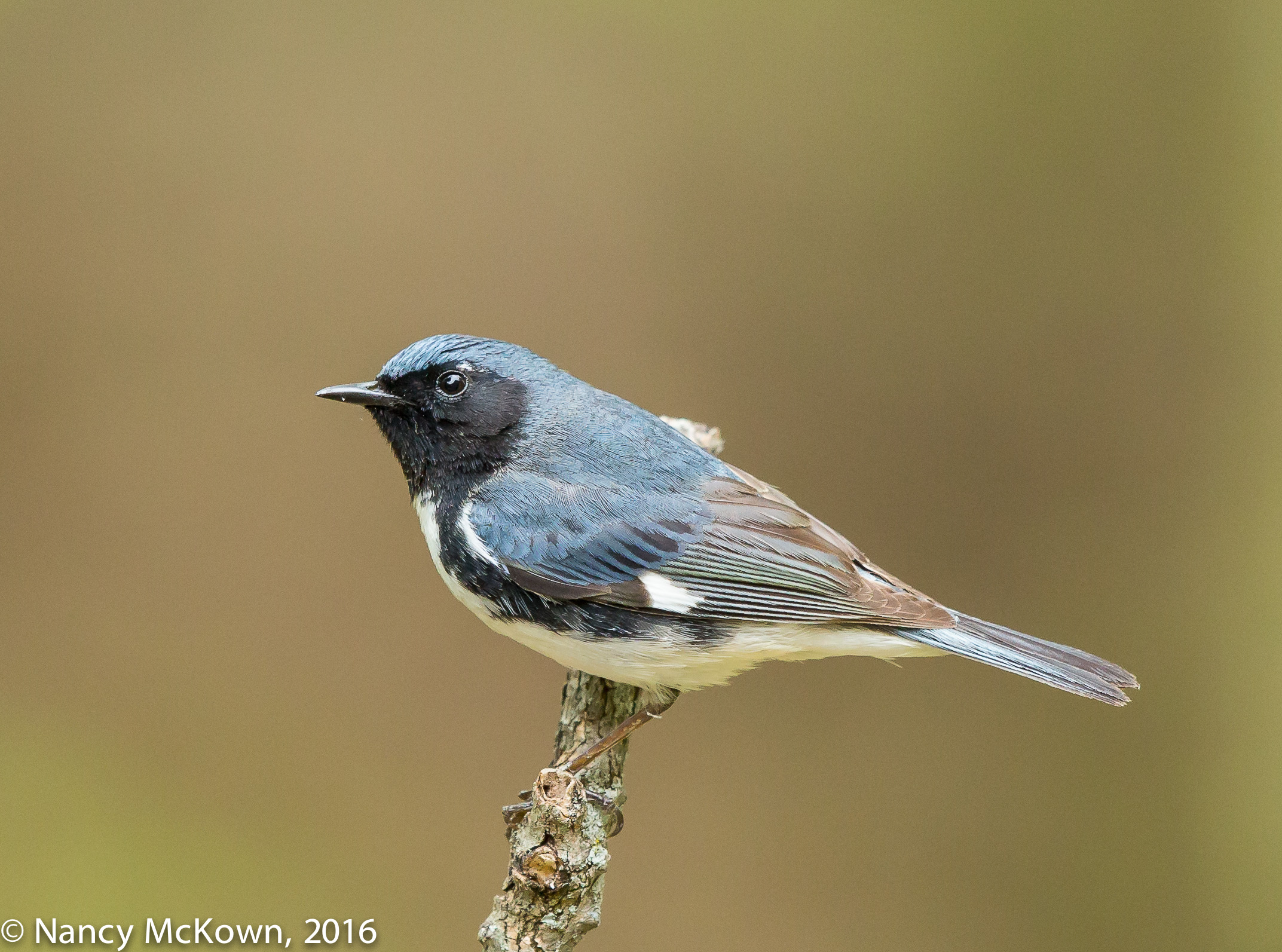 Photo of Black Throated Blue Warbler