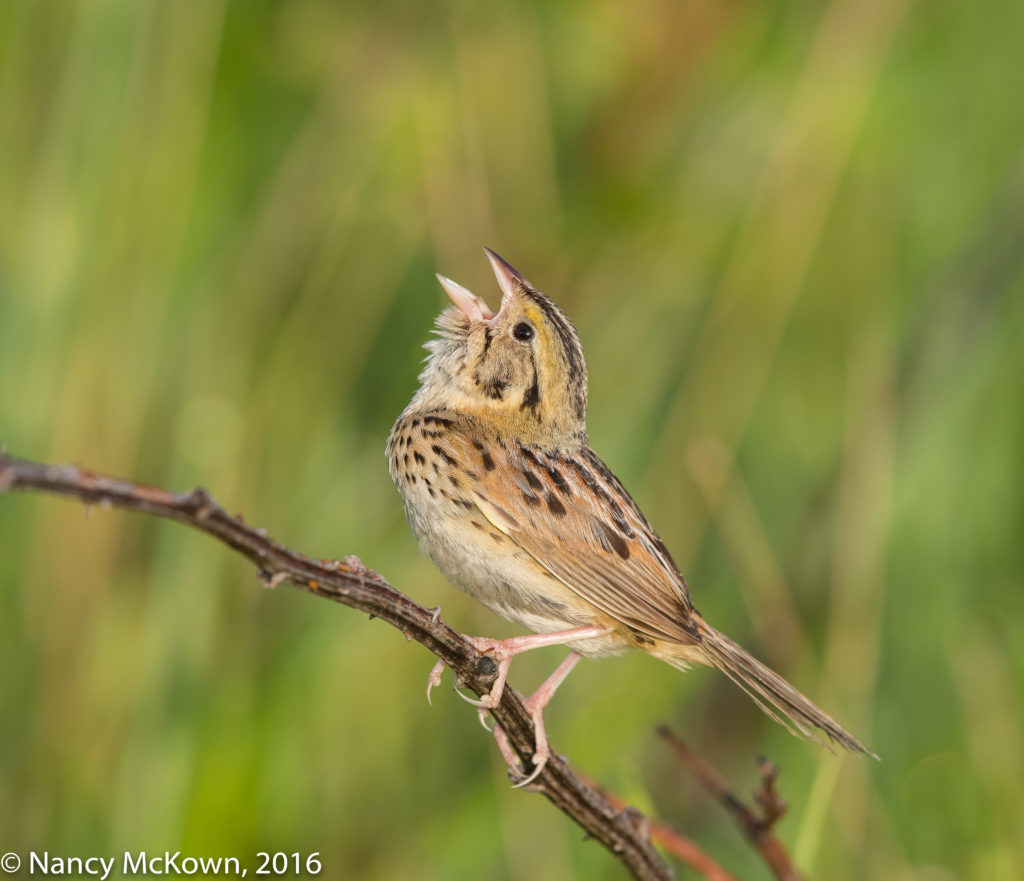 Photo of Henslow Sparrow