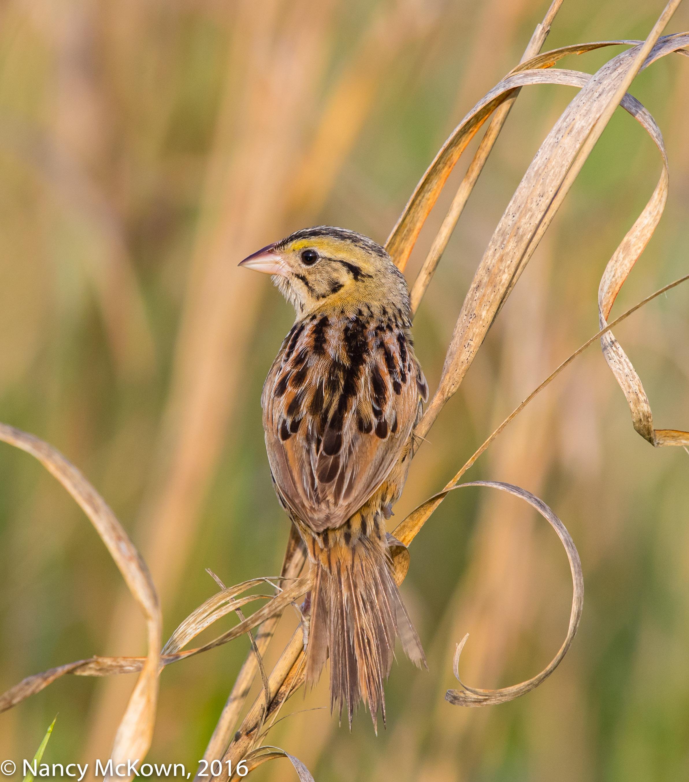 Photo of Henslow Sparrow