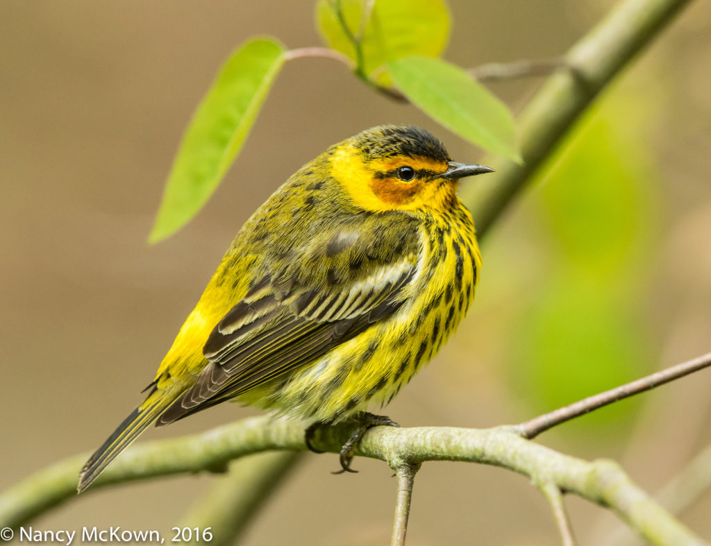 Photo of Cape May Warbler