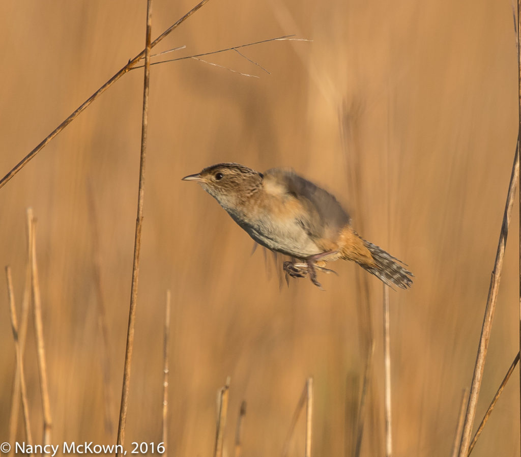 Photo of Sedge Wren