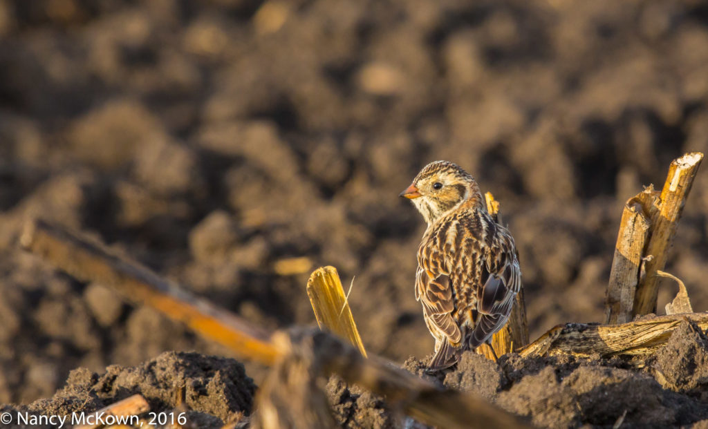 Photo of Lapland Longspur