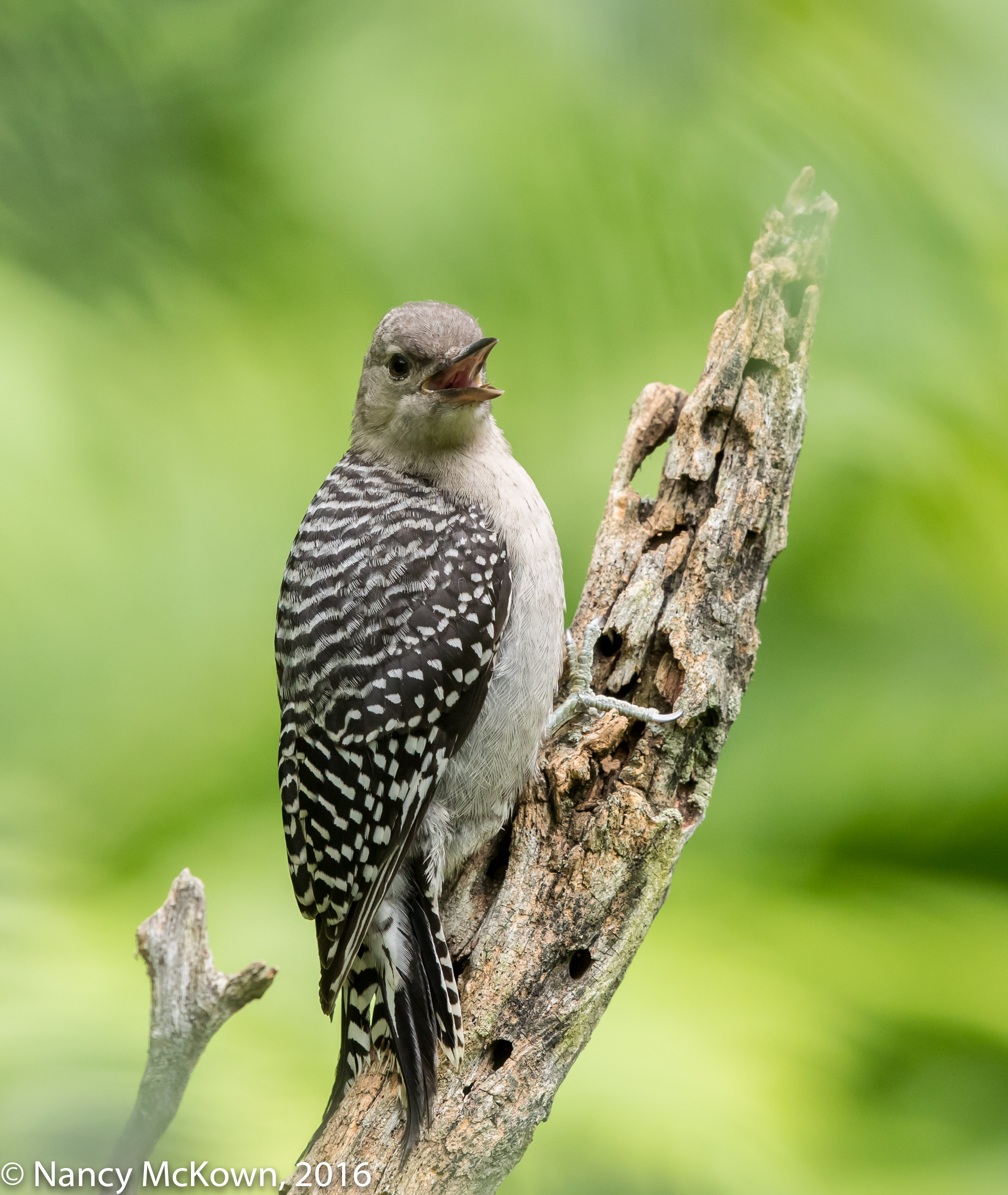 Photo of Juvenile Red Bellied Woodpecker