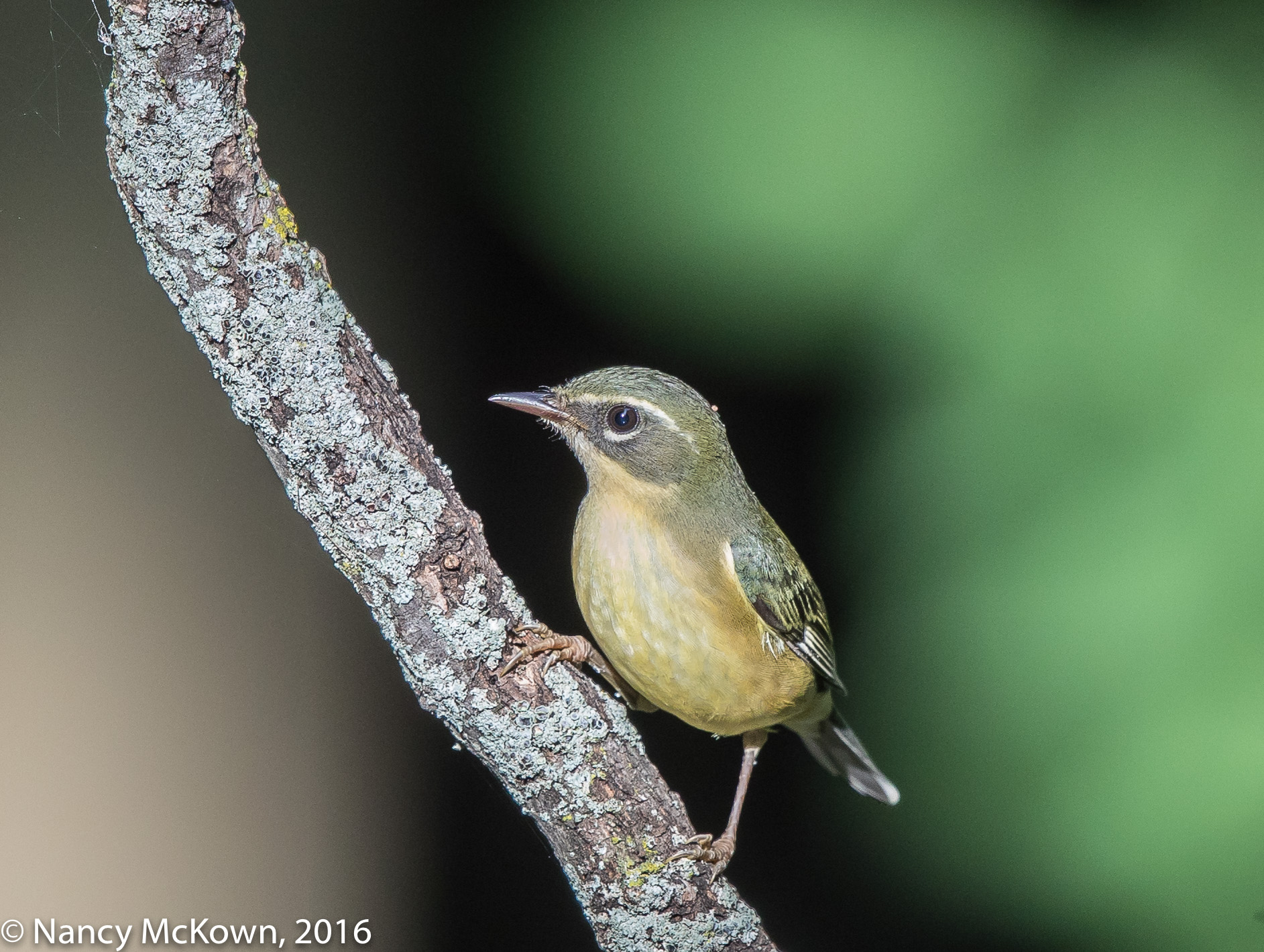 Photo of Female Black Throated Blue Warbler