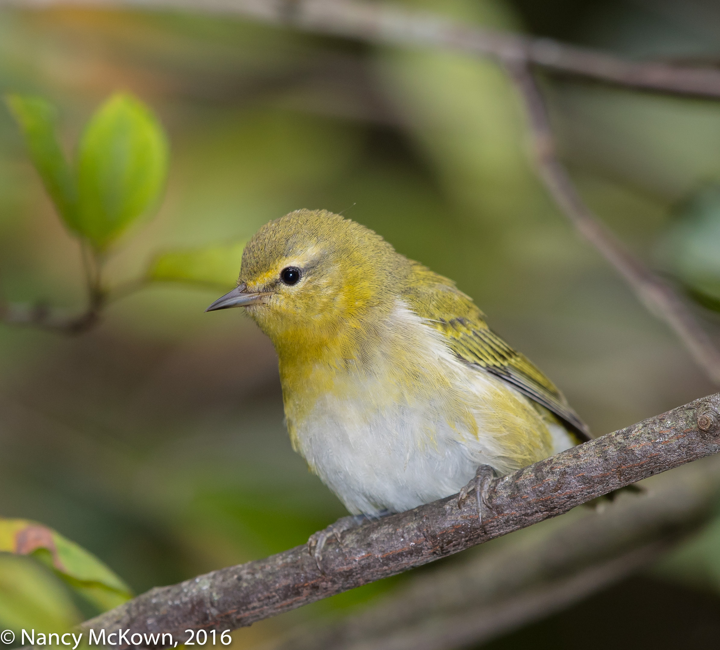 Photo of Tennessee Warbler