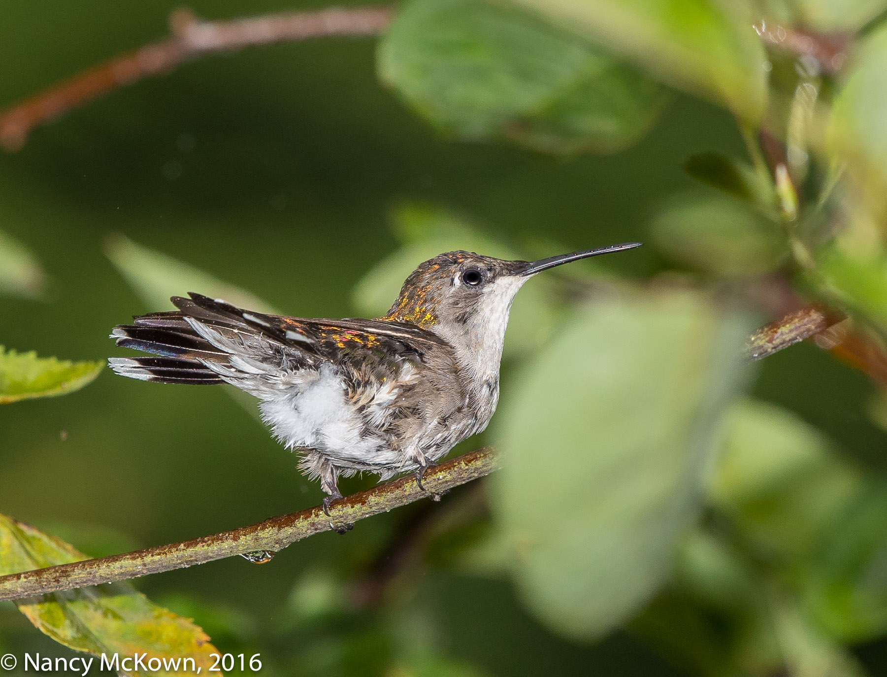 Photo of Ruby Throated Hummingbird