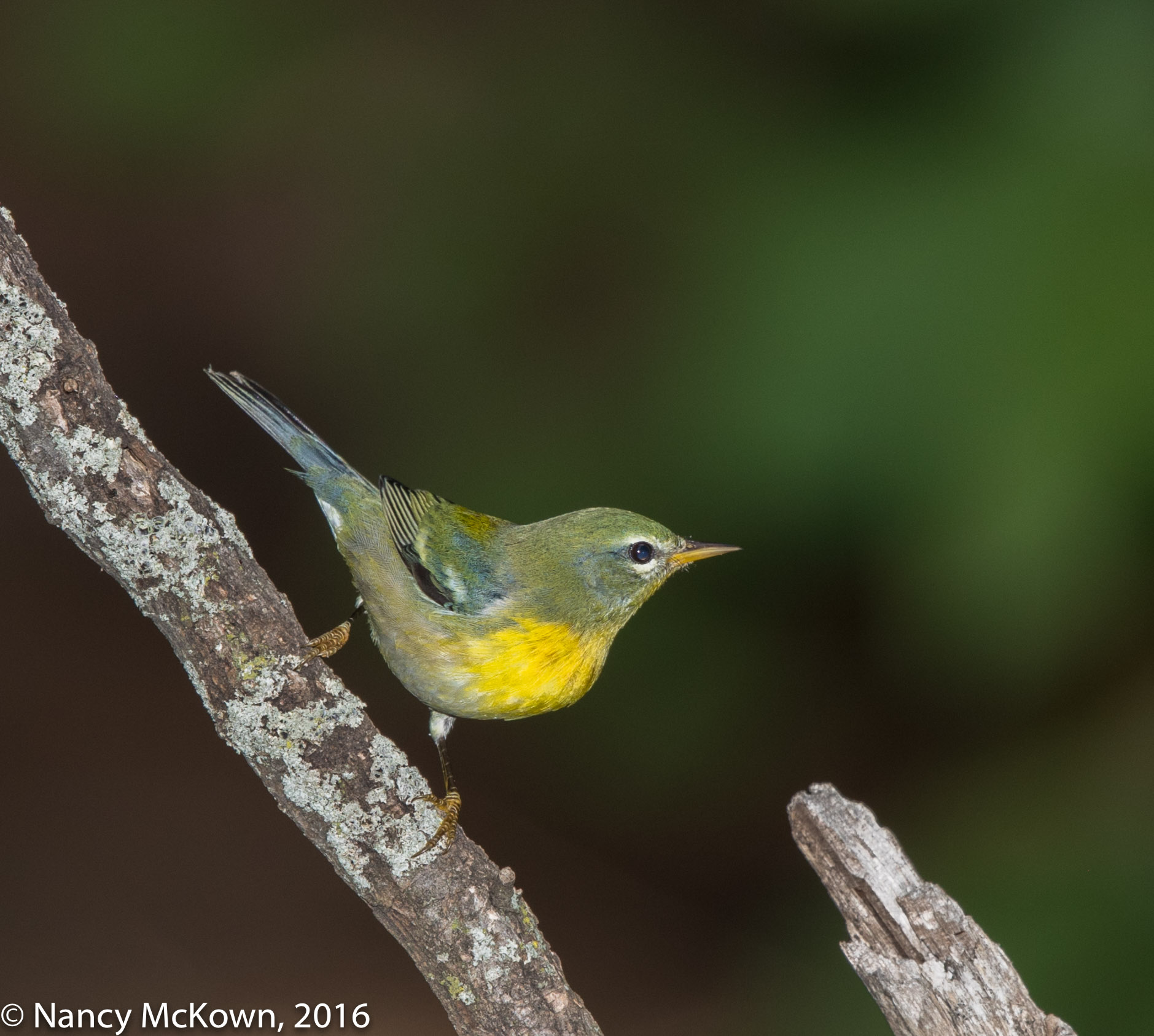 Photo of Northern Parula Warbler