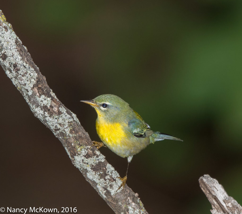 Photo of Female Northern Parula Warbler