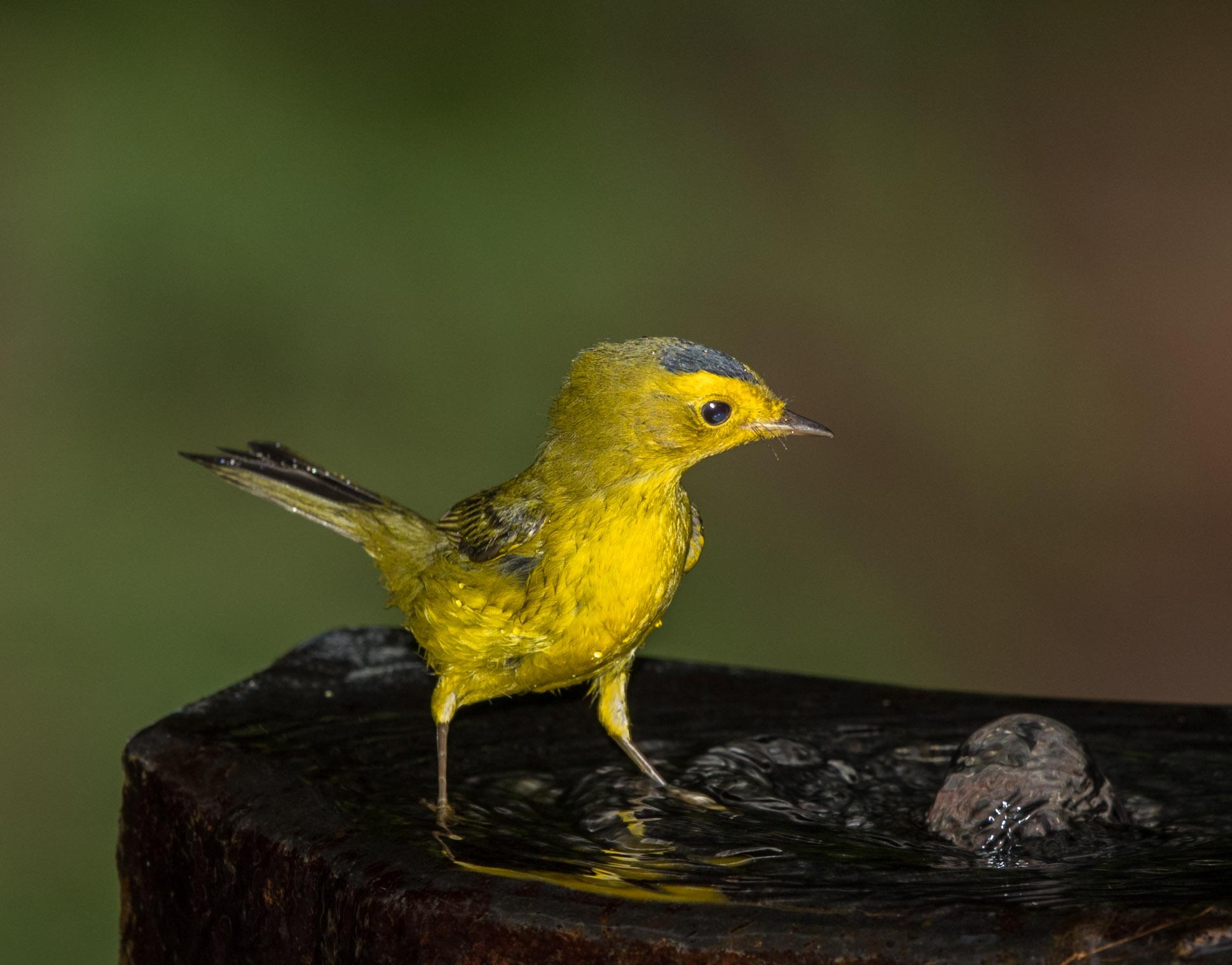 Photo of Wilson's Warbler