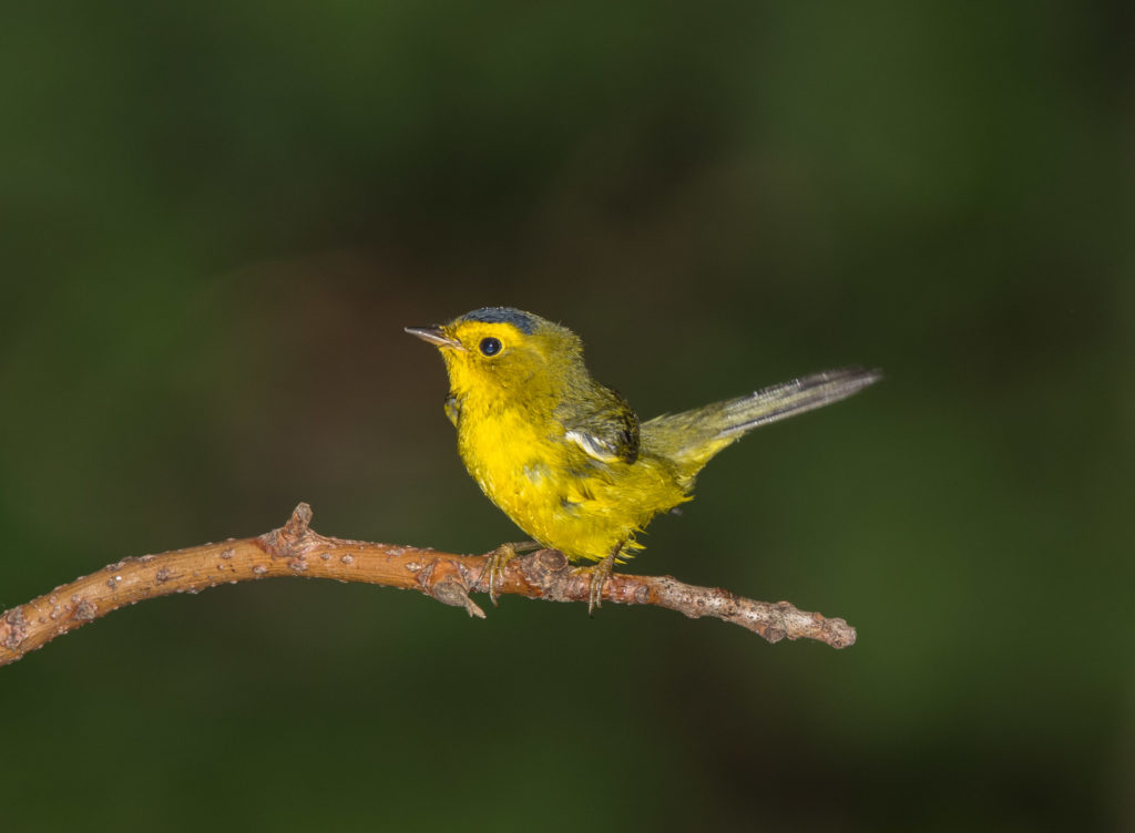 Photo of Wilson's Warbler