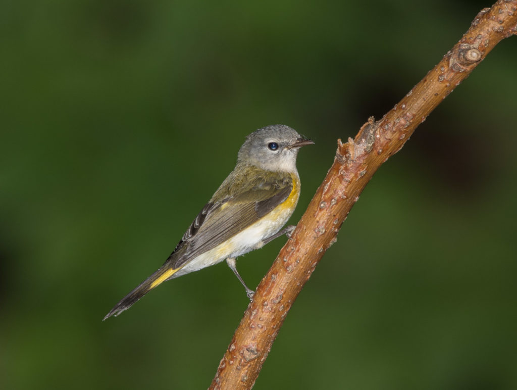 Photo of Female American Redstart