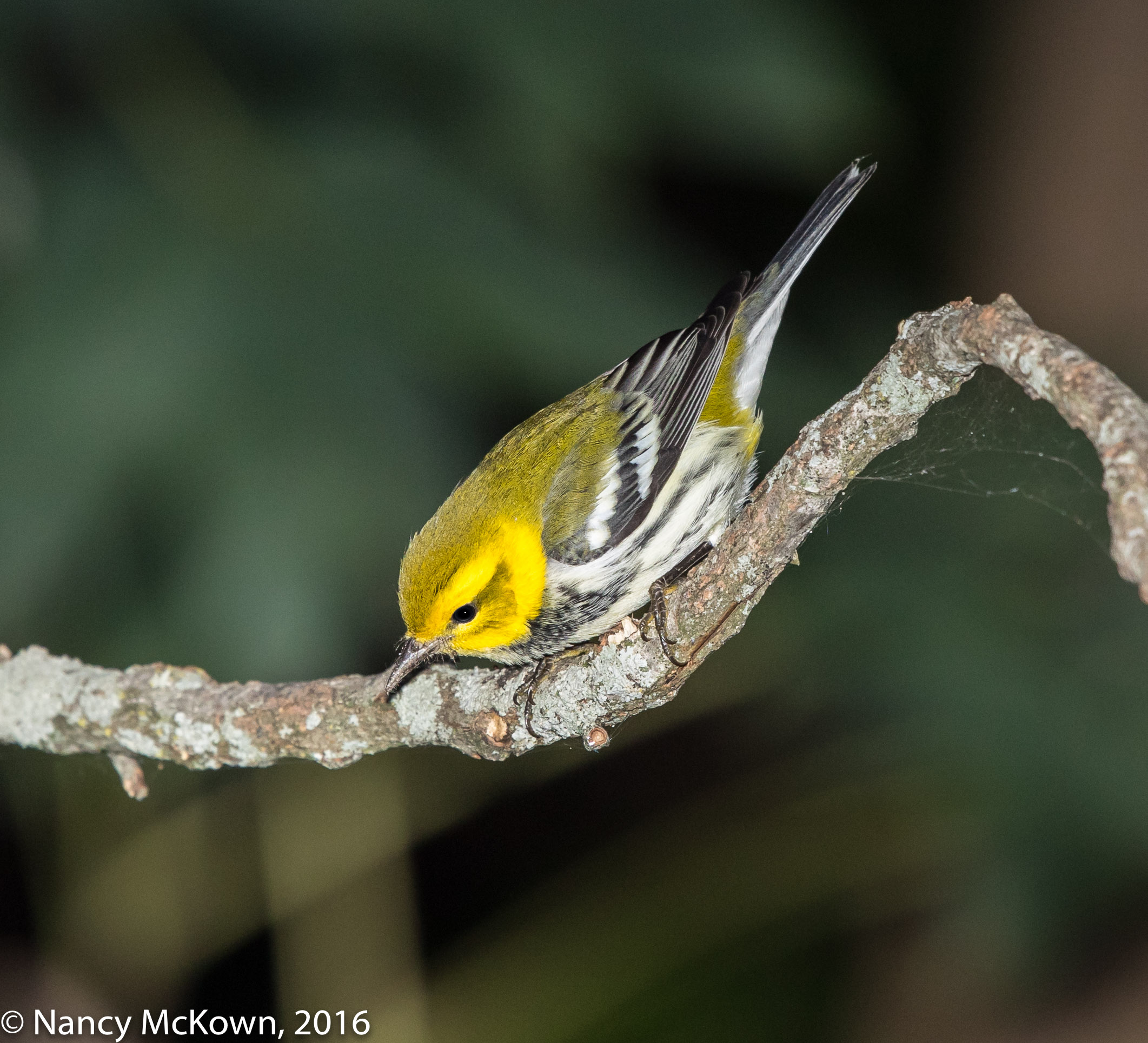 Photo of Black Throated Green Warbler