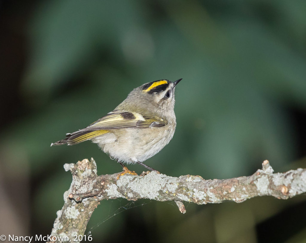 Photo of Gold Crowned Kinglet