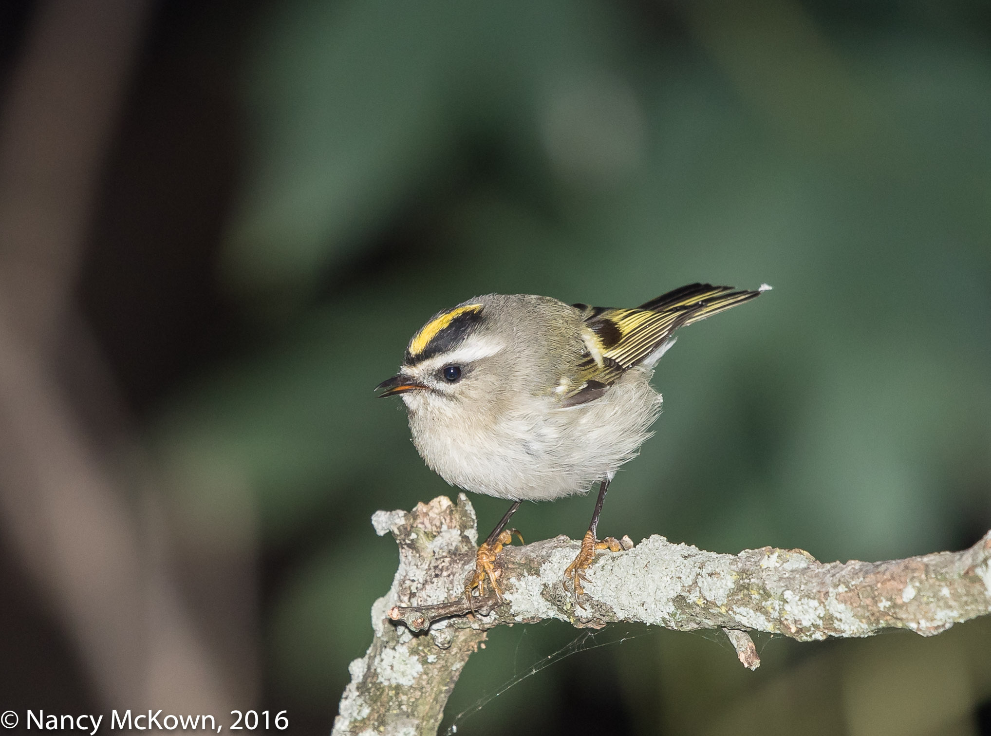 Photo of a Gold Crowned Kinglet