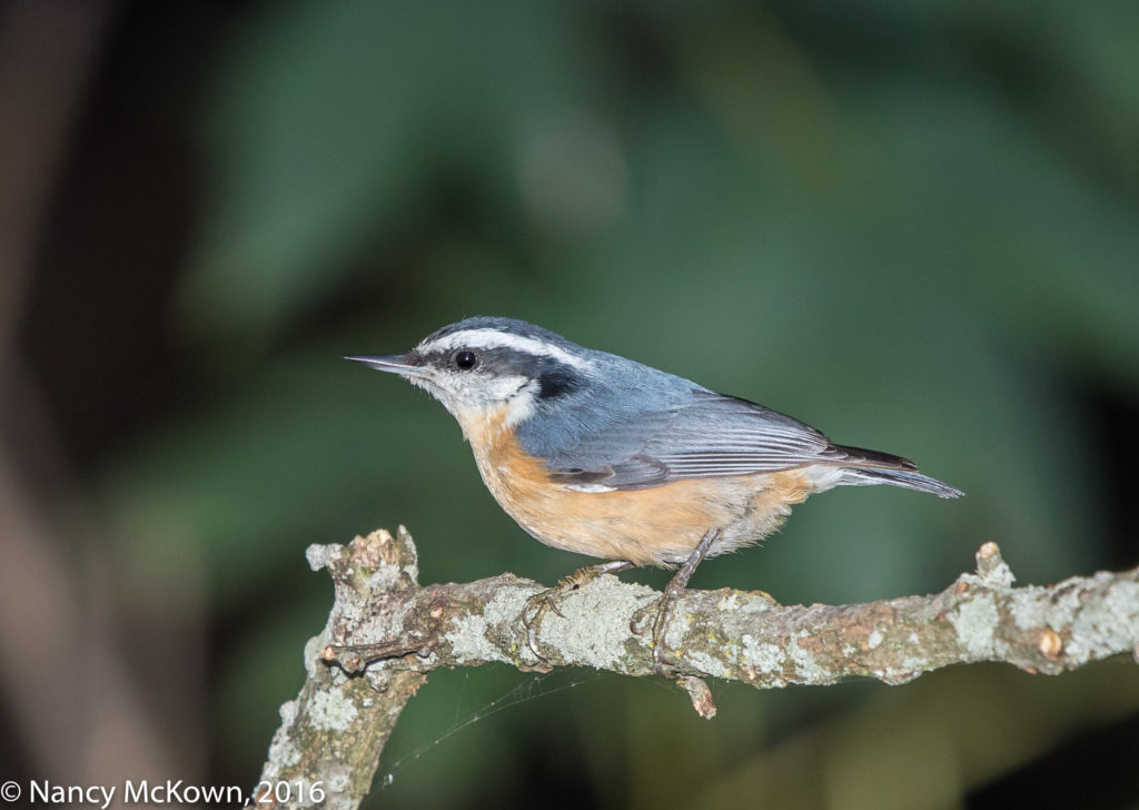 Rose Breasted Nuthatch