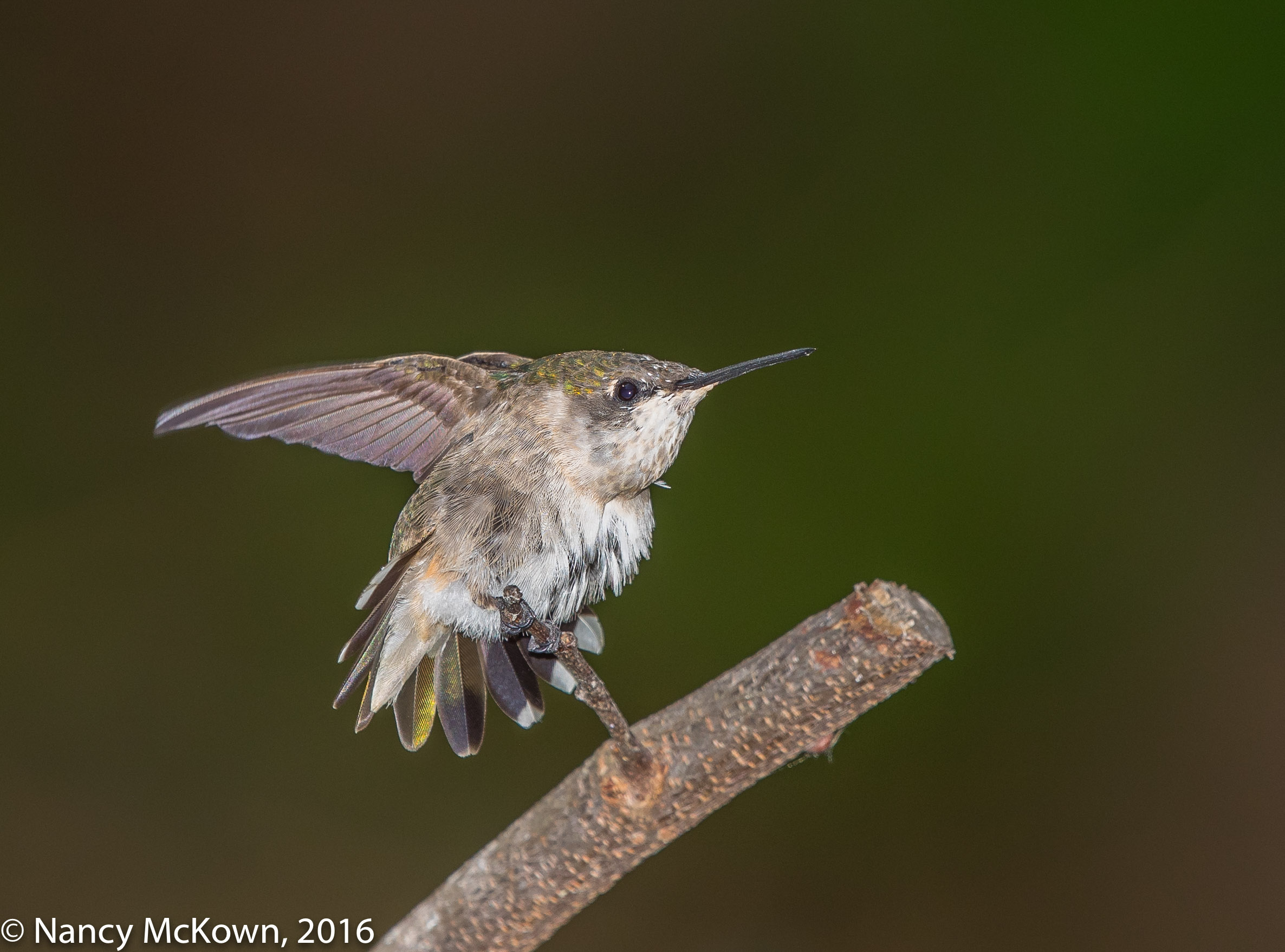 Photo of Ruby Throated Hummer