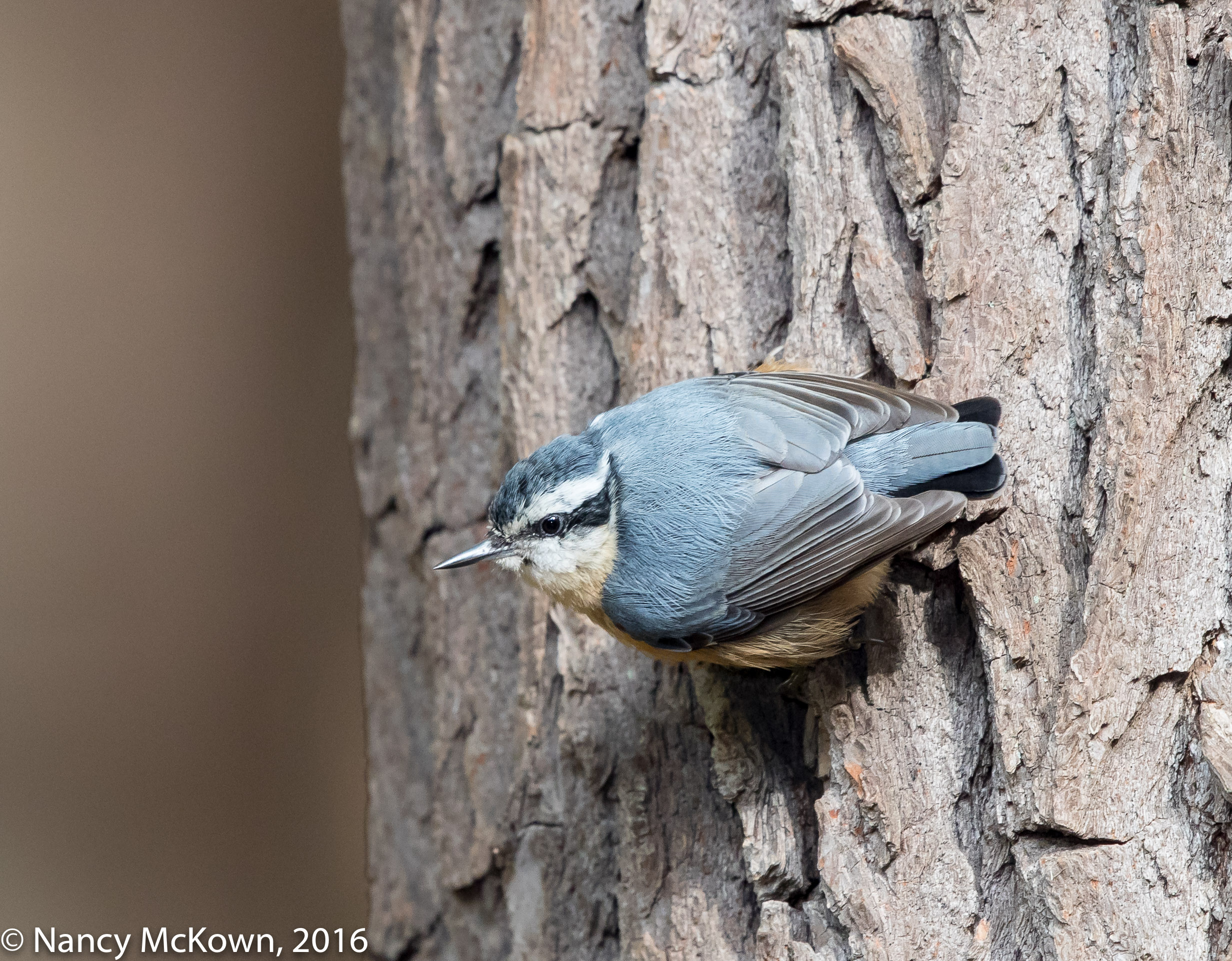 Photo of Rose Breasted Nuthatch